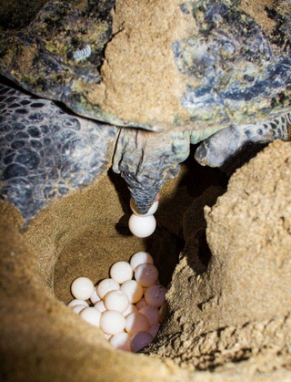 Green Turtle lying her egg at Sukamade Beach